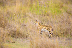 Wild serval looking after prey in Serengeti Stock Photo