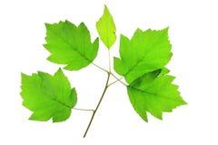 Wild Service Tree (Sorbus torminalis) Royalty Free Stock Image