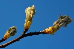 Wild service tree (Sorbus torminalis) Stock Photography