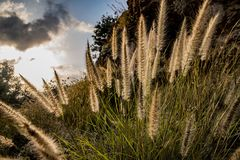 Wild setaria at sunset stock photography