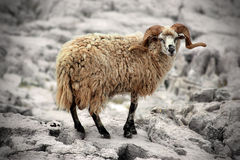 Wild sheep. On island Kornat in Croatia Stock Image