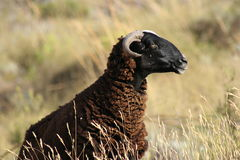 Wild sheep Royalty Free Stock Photography