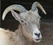 Wild Sheep Stock Photo