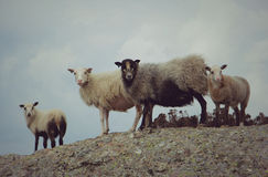 Wild sheep Stock Photo