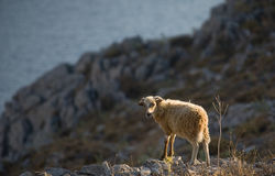 wild sheep on the Greek island of Symi Stock Photos