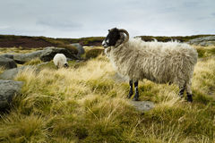 Wild sheep on Kinder Scout Royalty Free Stock Photos