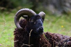 Wild sheep in the long grass. Head shot of a wild sheep with long horns. Photo taken at Cheddar Gorge in Somerset Stock Photo