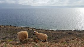 Wild sheep. Mother with its baby Stock Photography