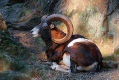 Wild sheep mouflon resting Stock Image