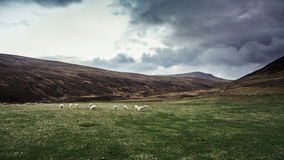 Wild Sheep in the North of Scotland Stock Photo