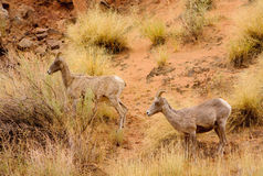 Wild sheep Royalty Free Stock Images