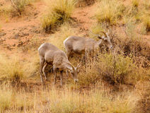 Wild sheep Royalty Free Stock Photo
