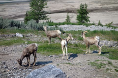 Wild sheep sheep in the rocky mountains Stock Image