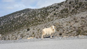 Wild sheep. At the side of the road in Crete Stock Image