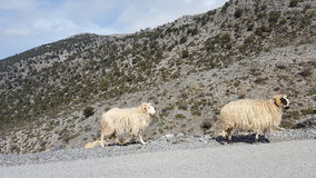 Wild sheep. At the side of the road in Crete Royalty Free Stock Photos