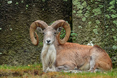 Wild sheep Urial, Ovis orientalis vignei, in the nature habitat. Sheep Urial sitting in the grass, rock in the background. Wildlif Stock Image