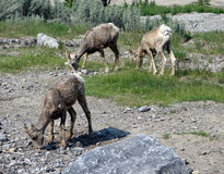 Wild sheepp in the rocky mountains Stock Photography
