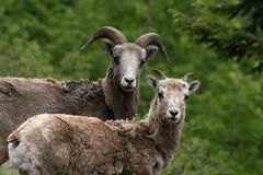 wild sheeps royaltyfri bild