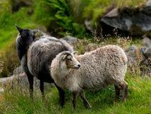 wild sheeps Royaltyfria Foton