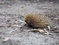 Wild short-beaked prickly echidna with dirty muzzle walking between dry brown leaves in the eucalyptus forest. Australia. stock image