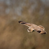 Wild Short eared owl in flight hunting for prey (Asio flammeus) Royalty Free Stock Images