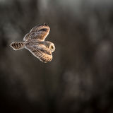 Wild Short eared owl in flight showing the feathers structure Stock Photos