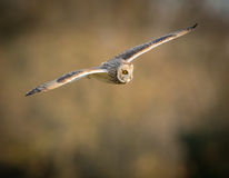 Wild Short eared owl in flight with straight wings (Asio flammeu Stock Photo