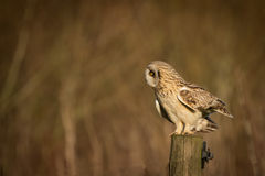 Wild Short eared owl sitting on fence post and looking on ground Stock Photo