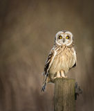 Wild Short eared owl sitting on fence post and looking Stock Photography