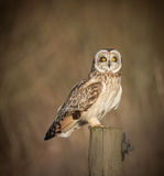 Wild Short eared owl sitting on fence post sitting sideways but Royalty Free Stock Photo
