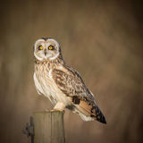 Wild Short eared owl sitting on fence post and staring forwards Royalty Free Stock Image
