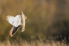 Wild Short eared owl stops in a dive on prey (Asio flammeus). Wild Short eared owl stops and dives on prey in the grass (Asio flammeus Royalty Free Stock Photography