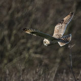 Wild Short eared owl stops in flight and looks for its prey (Asi. Wild Short eared owl stops in flight and intently looks for its prey (Asio flammeus Stock Image