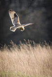 Wild Short eared owl stops in flight and prepares to dive on prey (Asio flammeus). Wild Short eared owl stops in flight and prepares to dive on prey above long Stock Images