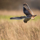 Wild Short eared owl stops in flight and starts to dive on prey Royalty Free Stock Images