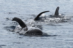 Wild Short Finned Pilot Whales. A wild pod of short finned pilot whales in the Pacific Ocean Royalty Free Stock Photo