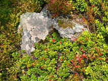 Wild short lingonberry shrubs and stones Stock Image