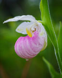 Wild Showy Lady`s Slipper Cypripedium reginae. White Lake fen, Ontario, Canada Royalty Free Stock Image