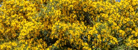 Wild shrub with yellow flowers texture background, Greece, cycladic island. Springtime, easter time, Greece, cycladic island. Wild bush with yellow flowers royalty free stock photo