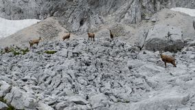 Wild shy mountain goat in the nature royalty free stock images