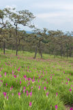 Wild siam tulips blooming field. Wild siam tulips blooming in the jungle  in Chaiyaphum province of Thailand Royalty Free Stock Photography