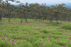 Wild siam tulips blooming field. Wild siam tulips blooming in the jungle  in Chaiyaphum province of Thailand Royalty Free Stock Photos