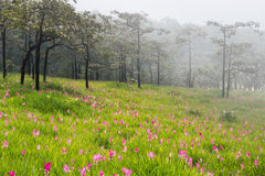 Wild siam tulips blooming field. Wild siam tulips blooming in the jungle in the mist in Chaiyaphum province of Thailand Royalty Free Stock Photography