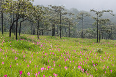 Wild siam tulips blooming field. Wild siam tulips blooming in the jungle in the mist in Chaiyaphum province of Thailand Stock Photography