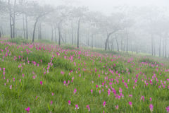 Wild siam tulips blooming field. Wild siam tulips blooming in the jungle in the mist in Chaiyaphum province of Thailand Stock Image