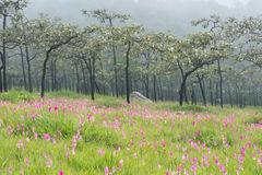Wild siam tulips blooming field. Wild siam tulips blooming in the jungle in the mist in Chaiyaphum province of Thailand Royalty Free Stock Photo