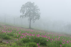Wild siam tulips blooming field. Wild siam tulips blooming in the jungle in the mist in Chaiyaphum province of Thailand Royalty Free Stock Images