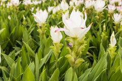 Wild siam tulips Stock Images