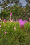 Wild siam tulips blooming in the jungle in Chaiya phoom Royalty Free Stock Photography