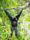 Wild Siamang Gibbon Royalty Free Stock Photography